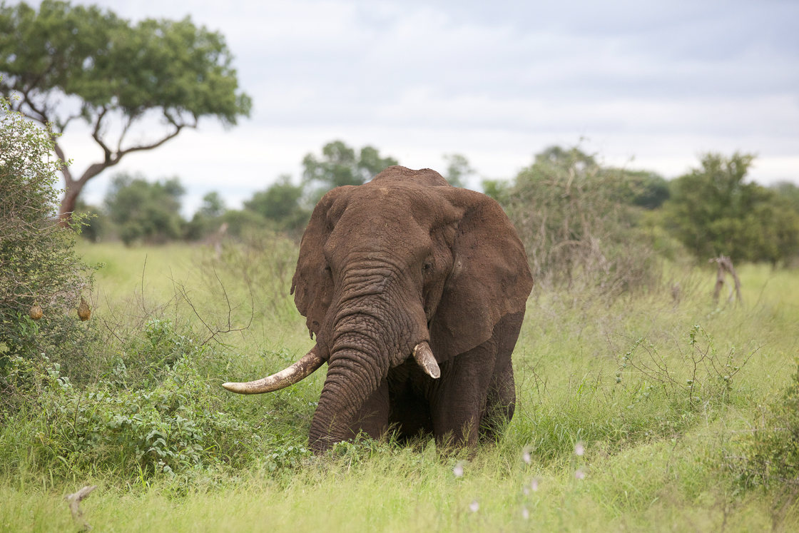 An elephant in Kruger National Park, South Africa