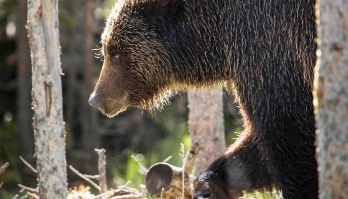 Tips for a Bear Encounter